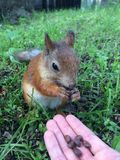 Lo scoiattolo mangia Immagine Stock