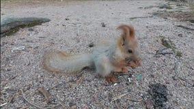 Lo scoiattolo mangia i semi video d archivio