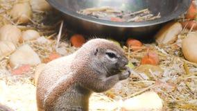 Lo scoiattolo mangia l'alimento archivi video
