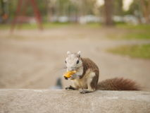 Lo scoiattolo mangia la frutta Fotografia Stock Libera da Diritti