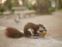 Lo scoiattolo mangia la frutta Immagini Stock Libere da Diritti