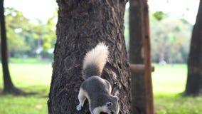 Lo scoiattolo mangia la nocciola video d archivio