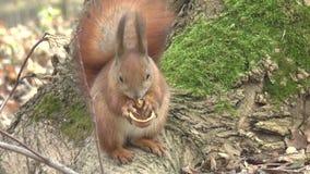 Lo scoiattolo mangia la noce video d archivio