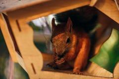 Lo scoiattolo mangia le nocciole nell'alimentatore fotografia stock libera da diritti