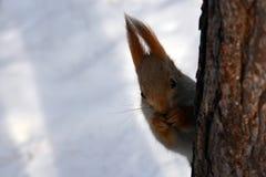 Lo scoiattolo mangia le nocciole sull'albero Fotografie Stock Libere da Diritti