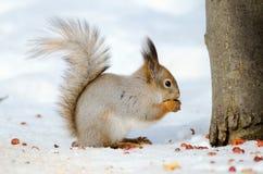 Lo scoiattolo mangia le nocciole Vista laterale Fotografia Stock