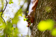Lo scoiattolo mangia una foglia dell'albero Immagini Stock