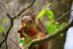 Lo scoiattolo mangia una foglia dell'albero Fotografie Stock