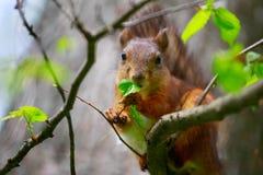 Lo scoiattolo mangia una foglia dell'albero Fotografia Stock