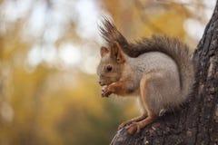 Lo scoiattolo mangia una nocciola su un albero immagine stock