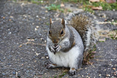 Lo scoiattolo mangia una noce Fotografia Stock