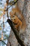 Lo scoiattolo mangia una noce Immagine Stock