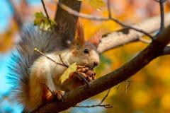 Lo scoiattolo mangia una noce su un ramo di albero fotografie stock