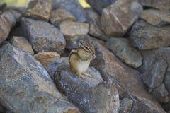 Lo scoiattolo mastica i dadi sulle rocce Immagine Stock
