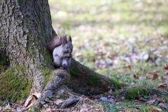 Lo scoiattolo mastica la noce Immagini Stock