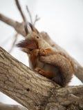 Lo scoiattolo morde la sua coda immagine stock