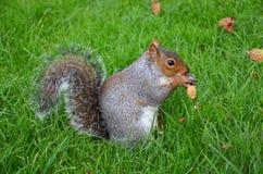 Lo scoiattolo nel parco mangia le arachidi arrostite immagini stock libere da diritti