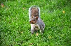 Lo scoiattolo nel parco mangia le arachidi arrostite fotografie stock libere da diritti