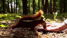 Lo scoiattolo prende la noce dalla mano umana video d archivio