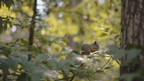 Lo scoiattolo rosicchia una noce video d archivio