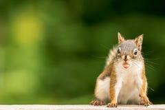 Lo scoiattolo rosso americano comico sembra attaccare fuori la lingua mentre mangia un'arachide Fotografia Stock