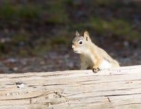 Lo scoiattolo rosso americano (hudsonicus del Tamiasciurus) guarda fuori dalla b Fotografia Stock Libera da Diritti