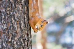 Lo scoiattolo rosso che si siede sull'albero e mangia Fotografia Stock Libera da Diritti