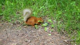 Lo scoiattolo rosso deftly rosicchia i dadi nel parco archivi video