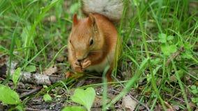 Lo scoiattolo rosso deftly rosicchia i dadi nel parco stock footage