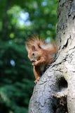 Lo scoiattolo rosso di Luffy mangia una noce su un albero immagine stock libera da diritti