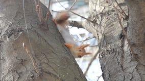 Lo scoiattolo rosso euroasiatico si siede al tronco di albero e ad esaminare la macchina fotografica video d archivio