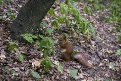 Lo scoiattolo rosso mangia Immagini Stock