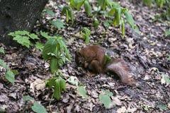 Lo scoiattolo rosso mangia Fotografia Stock
