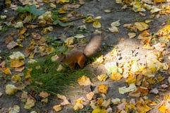 Lo scoiattolo rosso mangia le nocciole fotografie stock
