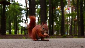 Lo scoiattolo rosso mangia una noce nella foresta sulla strada Primo piano video d archivio
