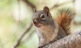 Lo scoiattolo rosso, piccola creatura rapida del terreno boscoso fa una pausa soltanto per una seconda, andando in giro sui rami  Fotografie Stock Libere da Diritti