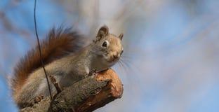 Lo scoiattolo rosso, piccola creatura rapida del terreno boscoso fa una pausa soltanto per una seconda, andando in giro sui rami  Fotografia Stock