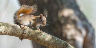 Lo scoiattolo rosso, piccola creatura rapida del terreno boscoso fa una pausa soltanto per una seconda, andando in giro sui rami  Immagine Stock
