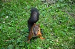 Lo scoiattolo rosso rosicchia la castagna che si siede sull'erba nel parco immagine stock