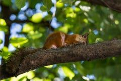 Lo scoiattolo rosso rosicchia un dado su un ramo di albero Fotografia Stock