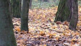 Lo scoiattolo rosso sta cercando qualcosa nelle foglie cadute asciutte della foresta di autunno video d archivio