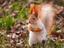 Lo scoiattolo rosso sta sull'erba ed esamina la macchina fotografica Fotografie Stock Libere da Diritti