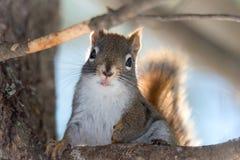 Lo scoiattolo rosso sveglio, fine su, si è appollaiato, sedendosi su sul ramo in legno nordico di un Ontario Immagini Stock Libere da Diritti