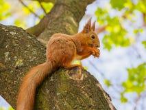 Lo scoiattolo rosso sveglio si siede sull'albero e noce del cibo Fotografie Stock