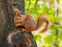 Lo scoiattolo rosso sveglio si siede sull'albero e noce del cibo nello spri Fotografie Stock