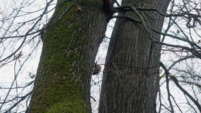 Lo scoiattolo scala l'albero in parco per seguire altro archivi video