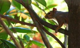 Lo scoiattolo schiocca fuori Fotografie Stock Libere da Diritti