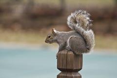 Lo scoiattolo si è appollaiato su un rivestimento di legno dell'alberino lasciato Immagine Stock