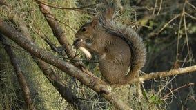 Lo scoiattolo si alimenta il fungo su un ramo stock footage