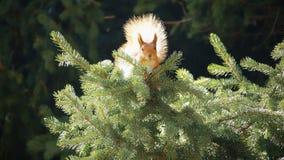 Lo scoiattolo si siede su un abete rosso stock footage
